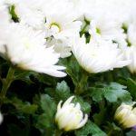 なぜ菊の花は仏花にふさわしいのでしょうか?